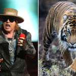 Axl Rose vrea sa-si cumpere un tigru